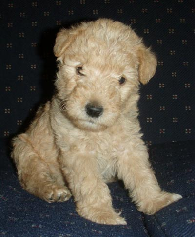 Lakeland Terrier Info Temperament Training Puppies