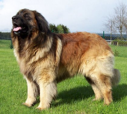 Leonberger Dog Info, Puppies, Temperament, Care, Training ...