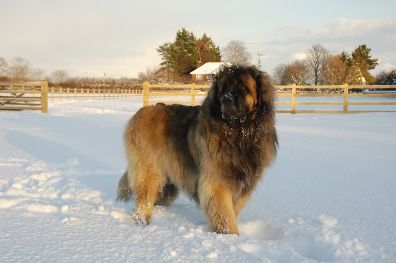 Giant Breed Dog Rescue