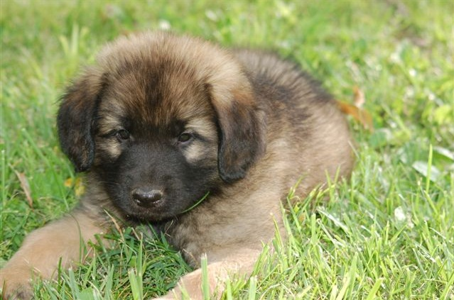 What Is A Leonberger Dog Breed
