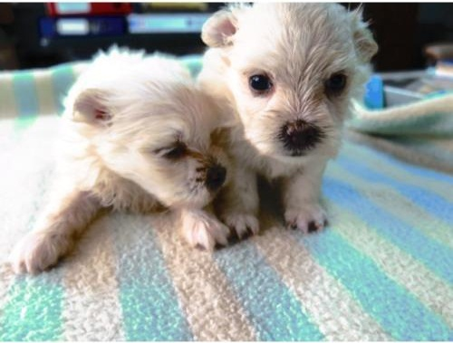 maltipom  maltese x pomeranian  info  temperament  puppies  pictures