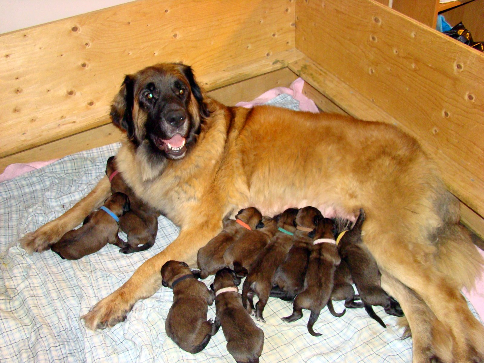 Leonberger Dog Info Puppies Temperament Care Training Pictures