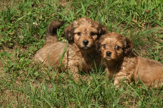 Dachshund Temperament Dog Breed Info