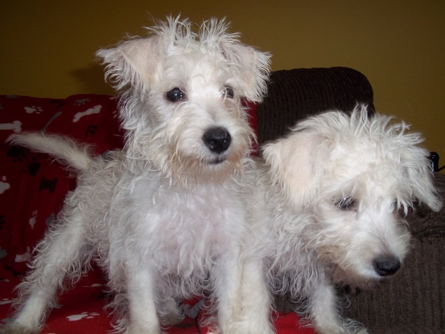 Westiepoo West Highland White Terrier Poodle Mix Info