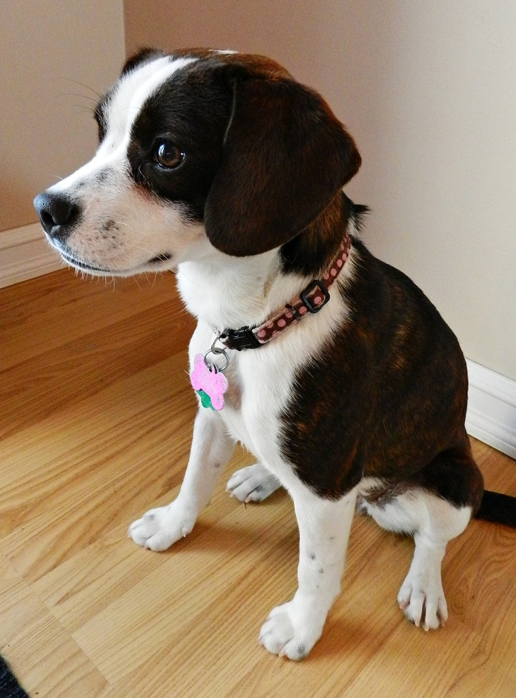 boston terrier and beagle mix boglen terrier boston terrier beagle mix info puppies 9408