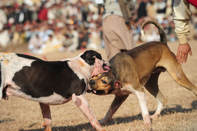 Bully Kutta Dog Info Temperament Training Puppies Pictures