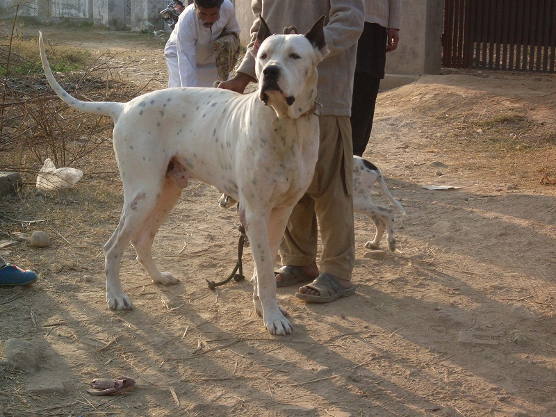 Pakistani Bull Dogs Pictures