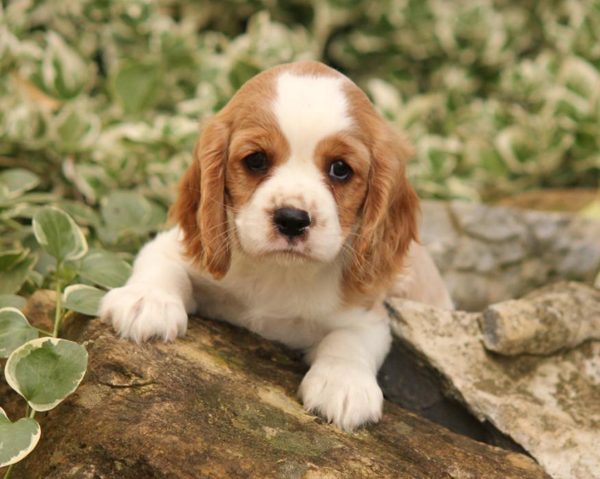 Dog Breed King Charles Cavalier