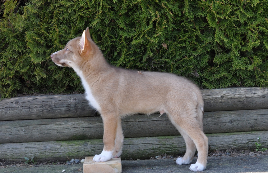 Coydog (Domestic Dog/Coyote Hybrid) Info, Behavior, Sounds ...