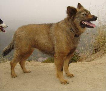 Coydog Domestic Dog Coyote Hybrid Info Behavior Sounds Pictures