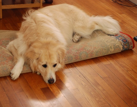 Dog Breeds Suitable For Apartment Life