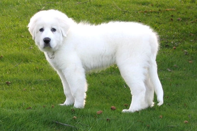 Golden pyrenees adult weight