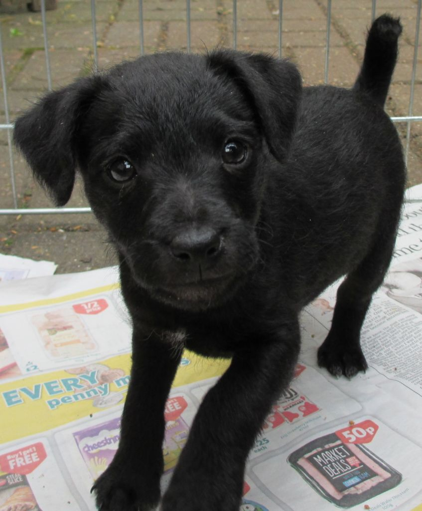 Patterdale Terrier Puppies, Temperament, Pictures