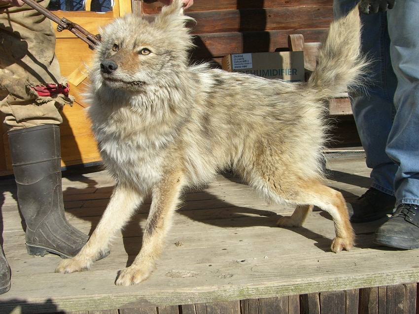 Newborn Coyote Coydog (Domestic Dog/C...