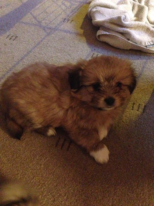 Brown And White Pomeranian Puppies