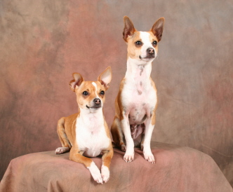 chihuahua and terrier mix taco terrier chihuahua toy fox terrier mix info puppies 8727