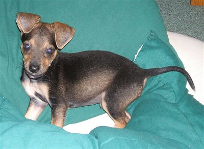 Taco Terrier Chihuahua Toy Fox Terrier Mix Info Puppies Pictures