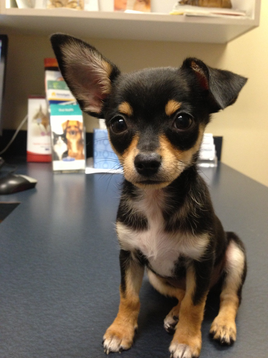 Taco Terrier (Chihuahua-Toy Fox Terrier Mix) Info, Puppies, Pictures