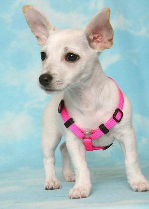 Chihuahua Fox Terrier Mix Puppies For