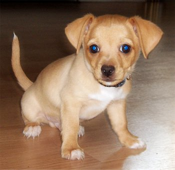 Taco Terrier (Chihuahua-Toy Fox Terrier Mix) Info, Puppies ...