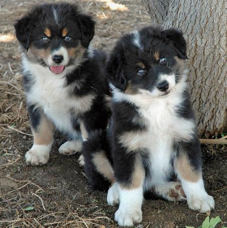 Alaskan Shepherd Info, Puppies, Temperament, Pictures