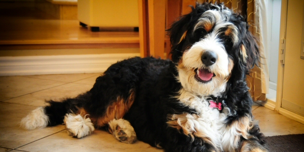 Bernese Mountain Dog For Sale Uk