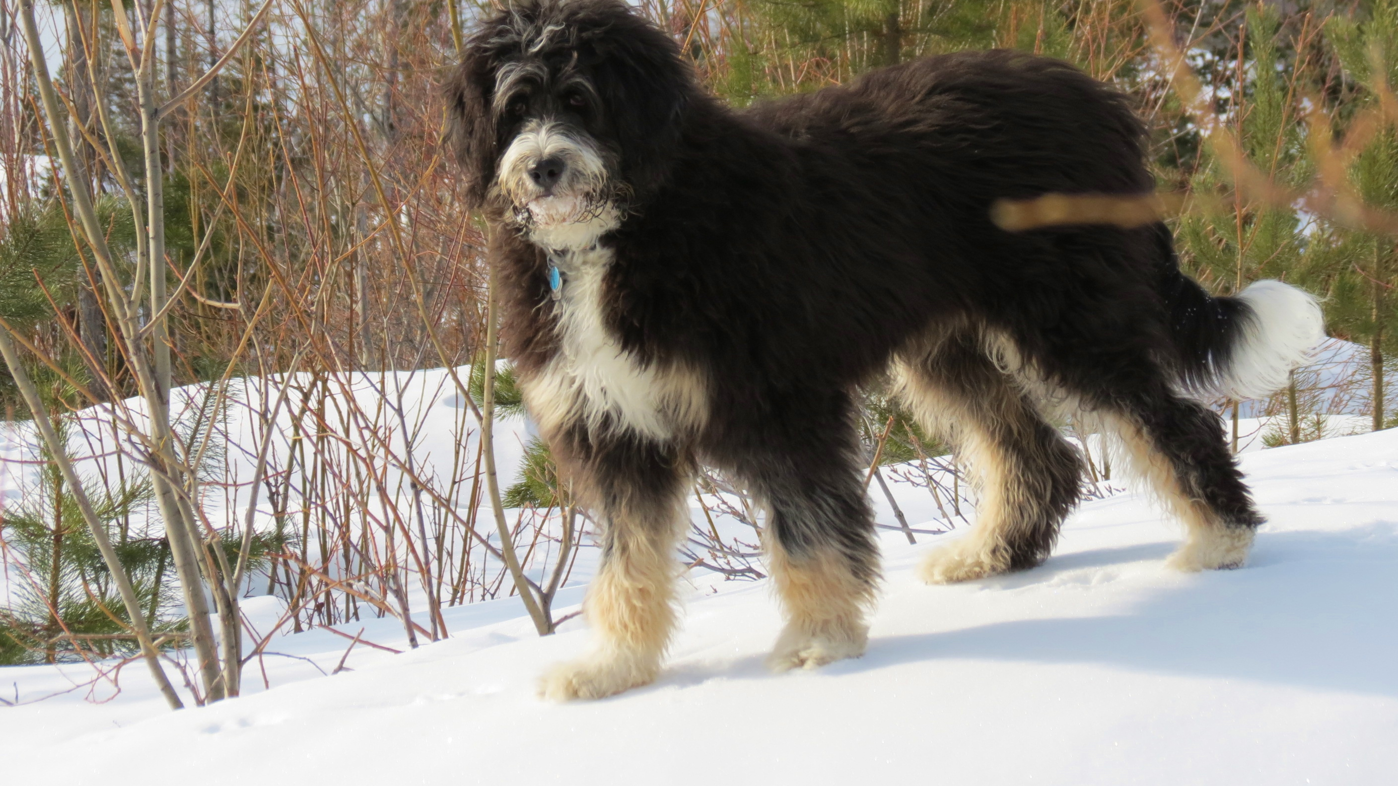 Bernedoodle Info Temperament Training Diet Puppies Pictures