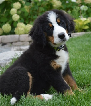 Miniature Bernese Mountain Dog For Sale