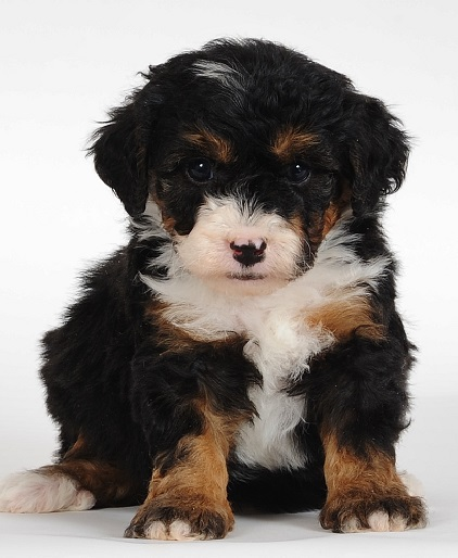 Bernedoodle Info Temperament Training Diet Puppies