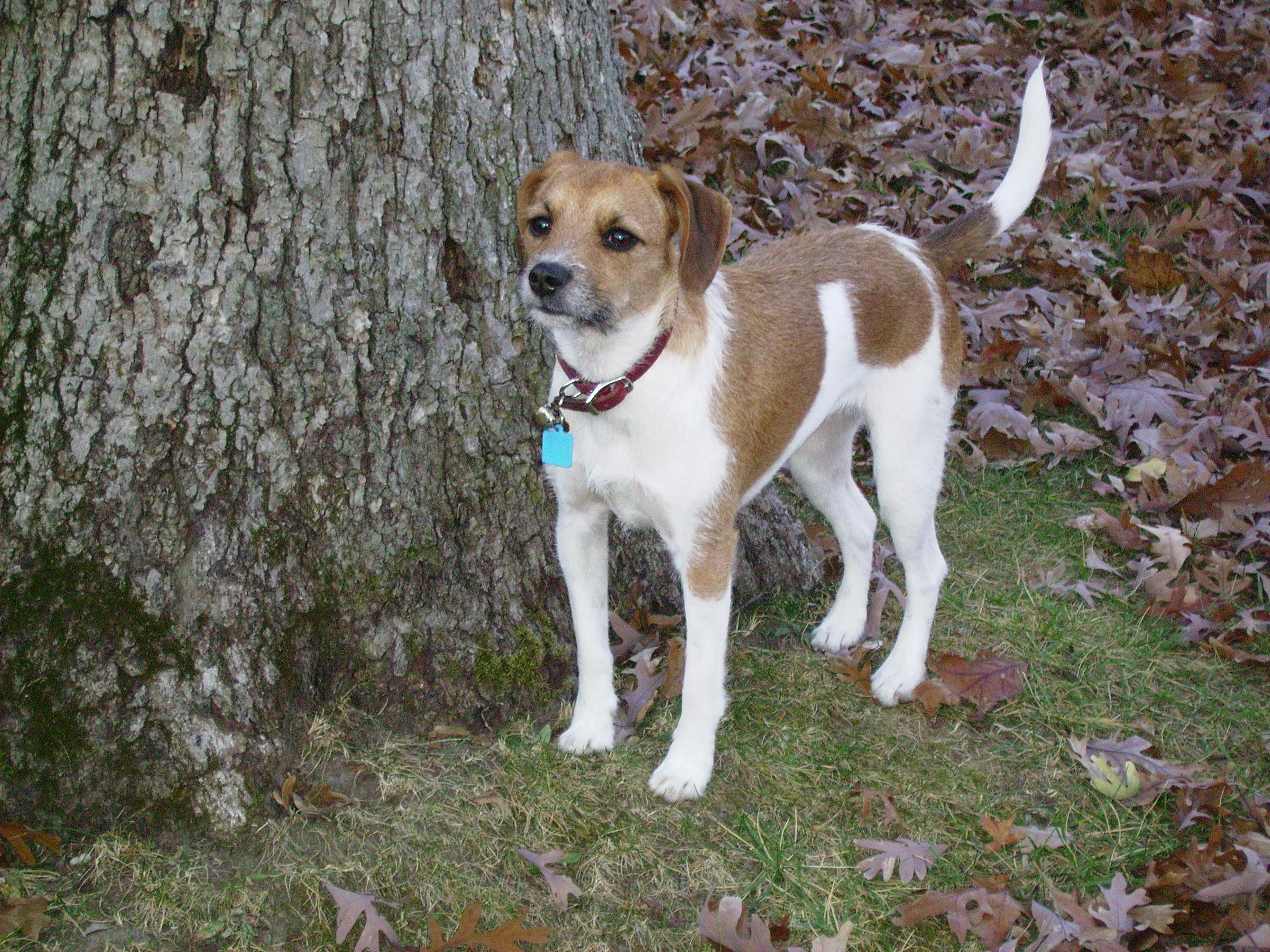 Jack Russell Terrier Barking At Other Dogs