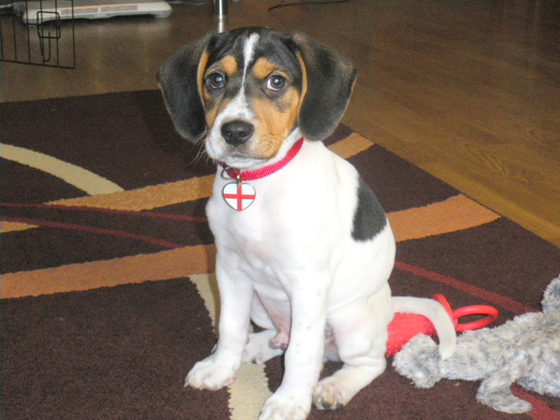 Jackabee (Jack Russell Terrier-Beagle Mix) Info, Puppies ...