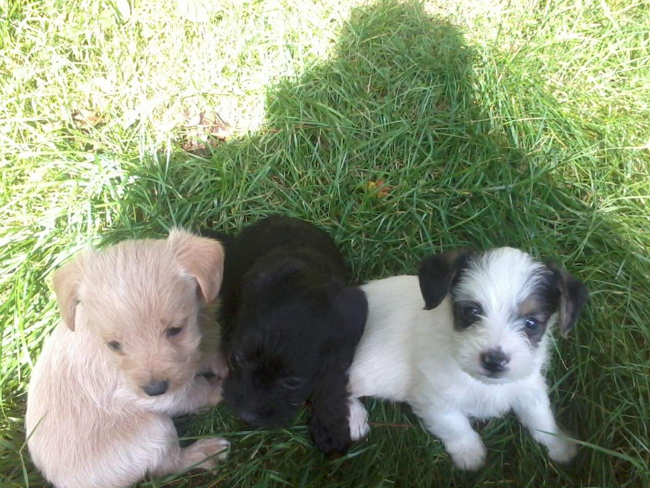 Docked Jack Russell Puppies Dogs For Sale