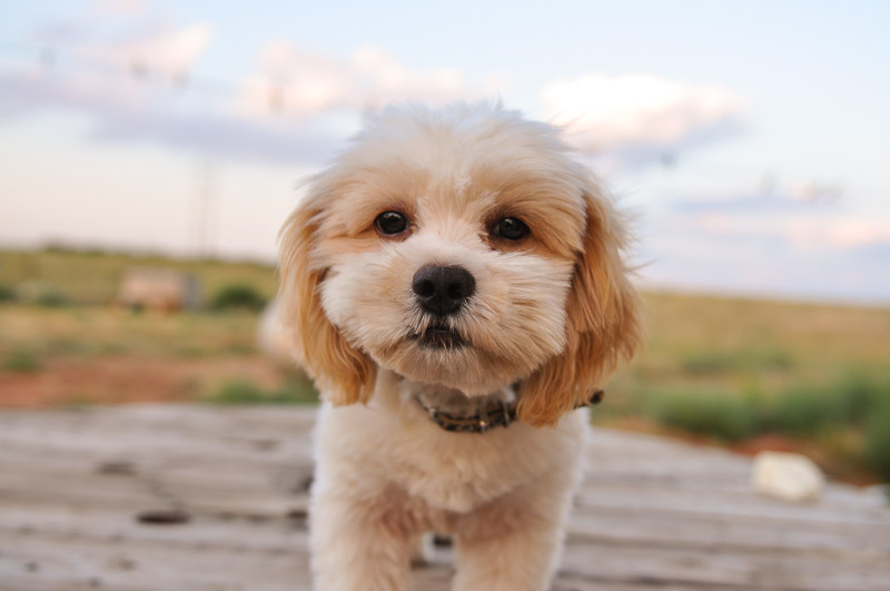 Shih Poo Shih Tzu Poodle Mix Facts Temperament