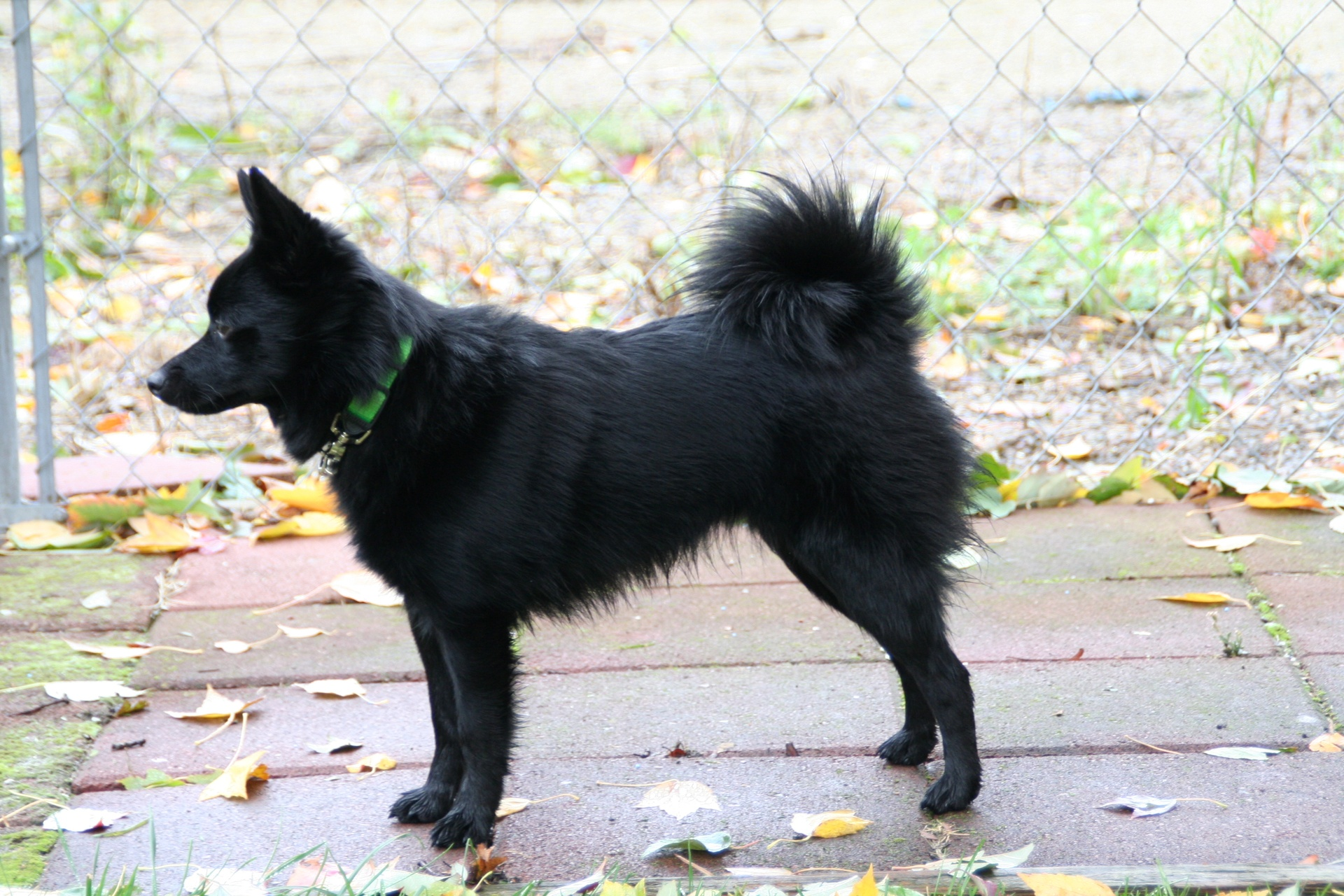 Schipperke Info, Temperament, Training, Diet, Puppies ...