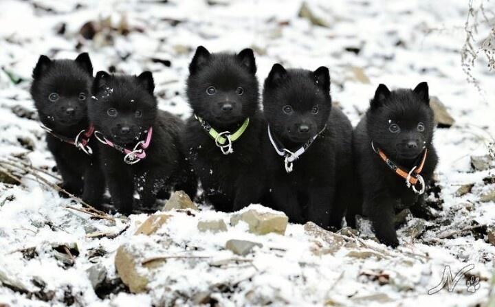 Schipperke Info Temperament Training Diet Puppies Pictures