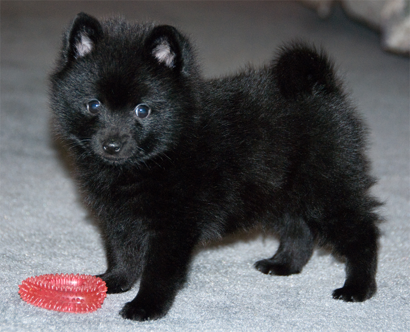 Dog Breed Info Schipperke