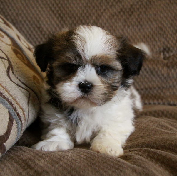 shih tzu puppis shih poo shih tzu poodle mix facts temperament 7810