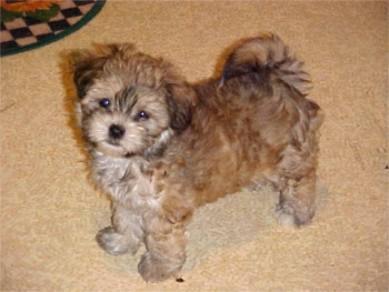 Picture shih Adult poo