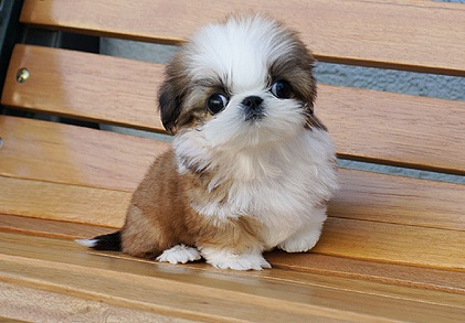miniature shih tzu full grown shih poo shih tzu poodle mix facts temperament 4058