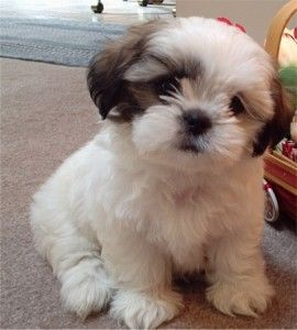 teacup shih tzu adults shih poo shih tzu poodle mix facts temperament 5095
