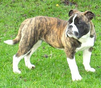 victorian english bulldog victorian bulldog info temperament training diet 8020