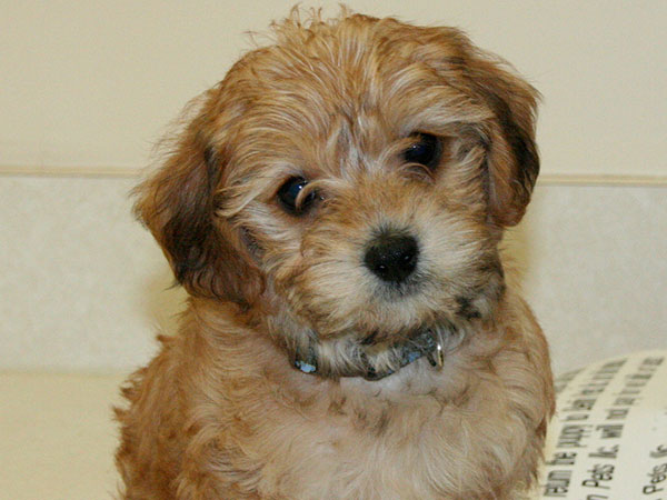 All clear, Adult yorkie poo picture