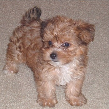 Yorkiepoo Yorkshire Terrier Poodle Mix Info Temperament Training