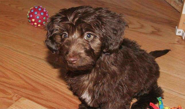 Small Dogs With Curly Hair Breeds