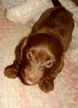 Doxiepoo Dachshund Toy Poodle Mix Facts Temperament
