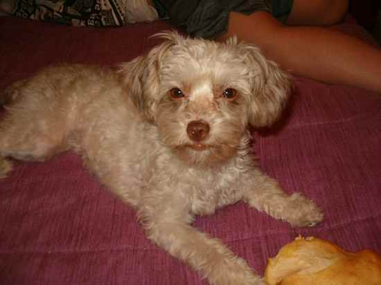 Chi Poo Chihuahua Poodle Mix Info Puppies Temperament