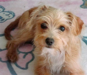 Small Brown Short Haired Dog Breeds