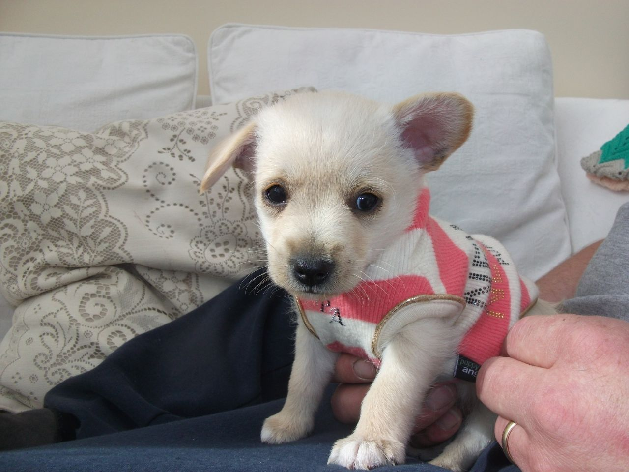 Chi-Poo (Chihuahua-Poodle Mix) Info, Puppies, Temperament, Picture
