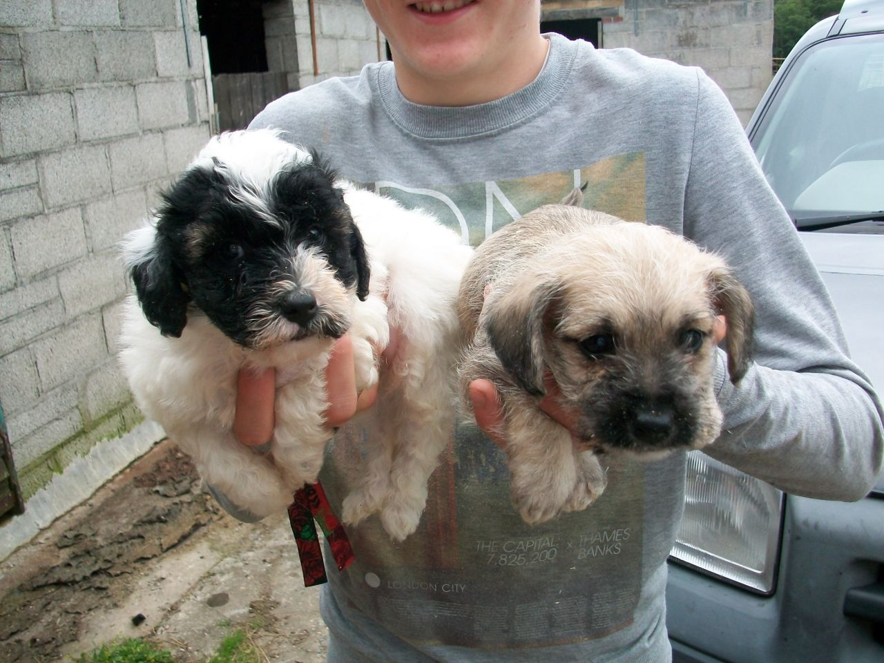 English Boodle (English Bulldog-Poodle Mix) Info and Pictures
