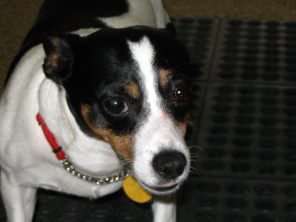 jack russell terrier mixed breeds - photo #20